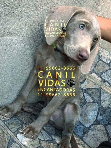 weimaraner macho silver, com pedigree, vacina, garantia e suporte, fotos reais - Foto 3