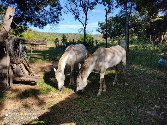Garanhão mangalarga  - Foto 3