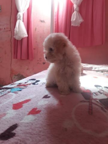 Poodle fusso marron olhos verdes macho - Foto 2