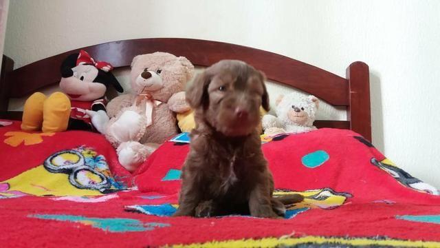 TOP dos top filhotes de poodle toy originais leia - Foto 4