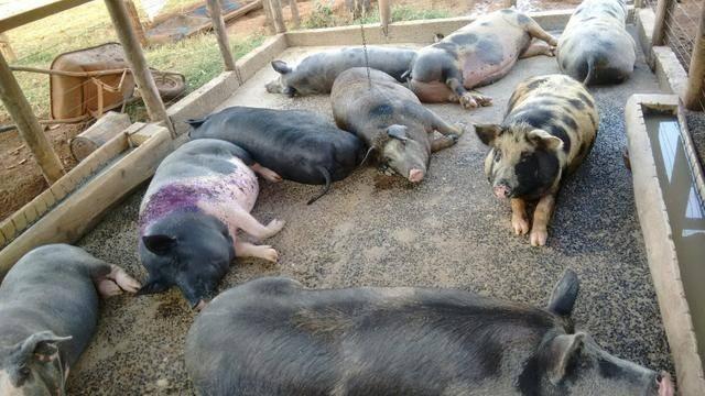 Leitao e porco