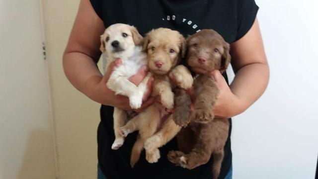 TOP dos top filhotes de poodle toy originais leia - Foto 2