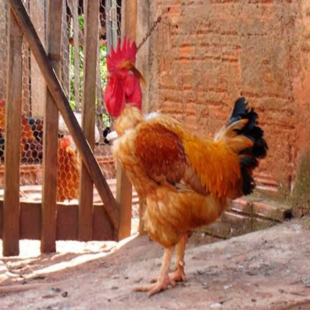 Pintinhos Label Rouge Raça pura ( Boa para Ovos e Carne)  - Foto 2