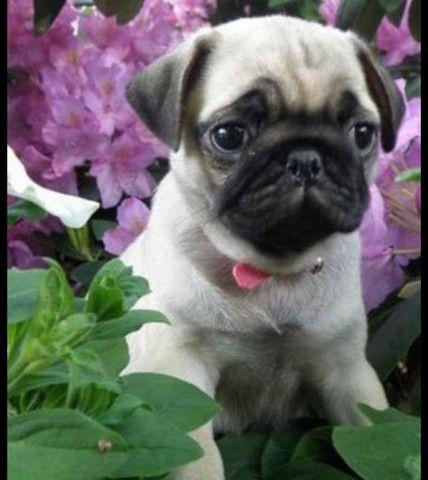 Pug porte pequeno filhote com pedigree e garantia e Saude  - Foto 4