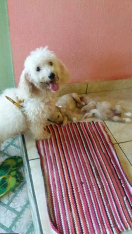 Poodle com 07 dias original de pai e mãe