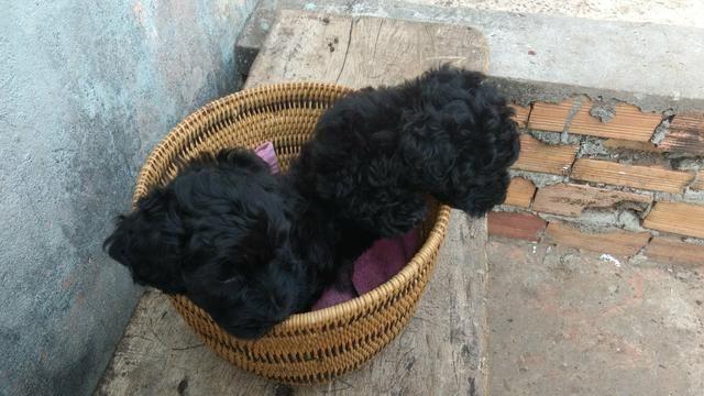 Vendo um casal de poodle