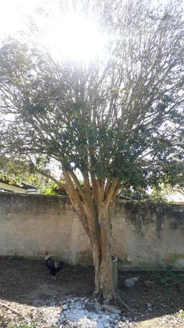 Pé de jabuticabeira - Foto 2