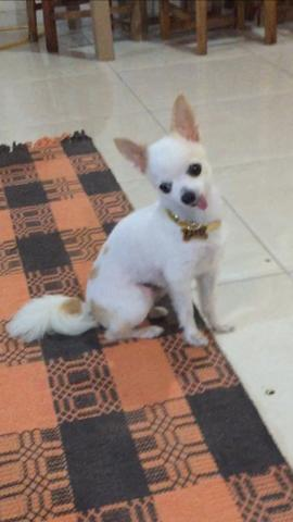 Lindo Chihuahua zero - Foto 2