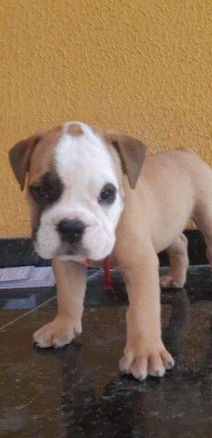 Filhotes de Bulldog Campeiro  - Foto 6