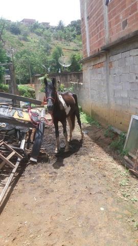 Cavalo Pampa de preto - Foto 4