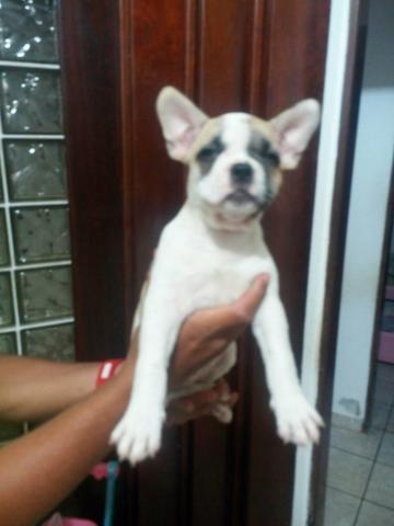 Bulldog francês - Foto 3