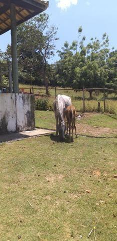 Vendo égua de picado com potro - Foto 2