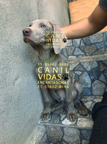 weimaraner macho silver, com pedigree, vacina, garantia e suporte, fotos reais - Foto 4
