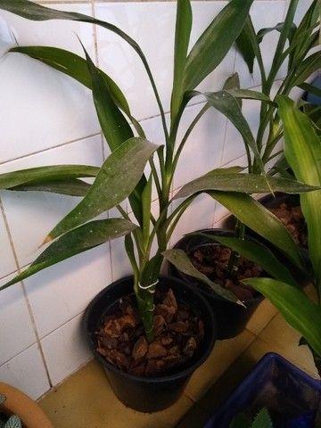 Bambuzinho da sorte - Foto 2