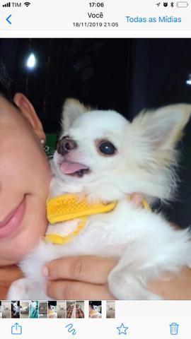 Lindo Chihuahua zero