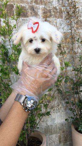 Maltês, filhotes com garantia de saúde, pedigree e auxilio veterinário, venha conferir! - Foto 6