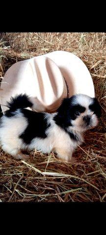 Shih tzu macho opção de pedigree - Foto 6