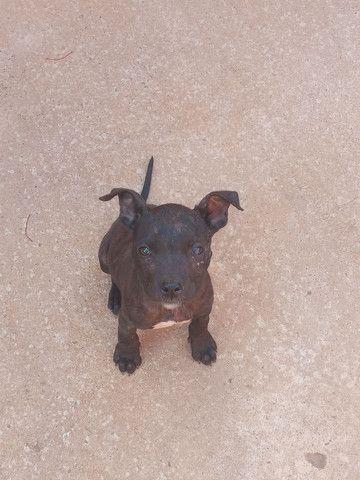 Cachorra pitbull - Foto 2