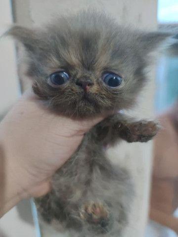 Gatos Persa para reserva - Foto 5
