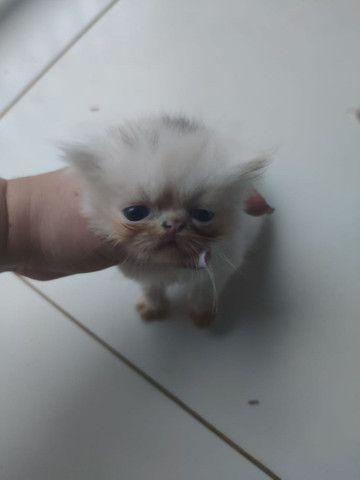 Gatos Persa para reserva - Foto 3