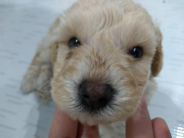 Poodle fêmea número 1 - Foto 3