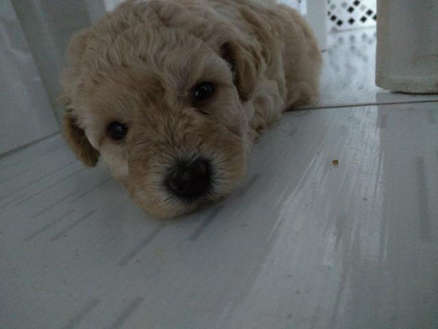 Poodle fêmea número 1 - Foto 2