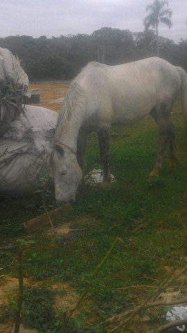Vendo cavalo tordilho negro - Foto 3