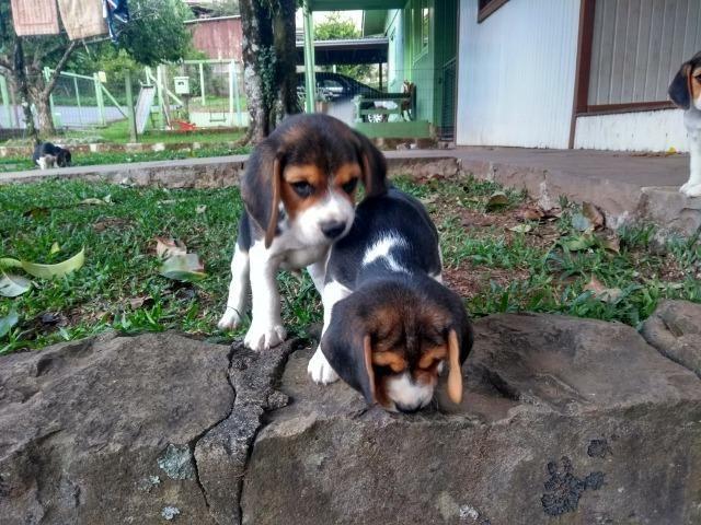 Beagles filhotes tricolor - Foto 3