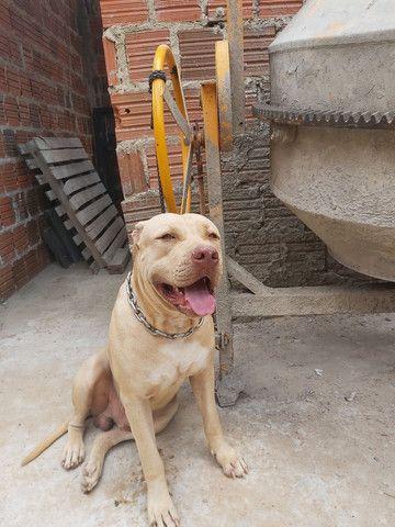 Pitbull Moster pedigree IBC - Foto 2