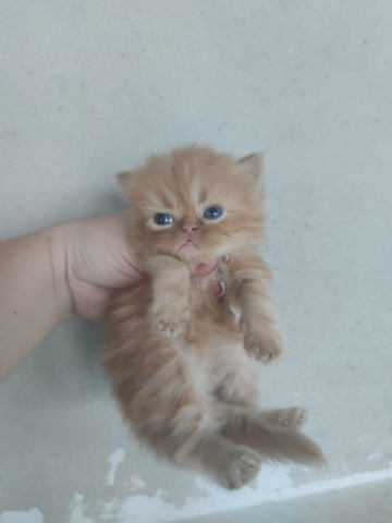 Gatos Persa para reserva - Foto 2