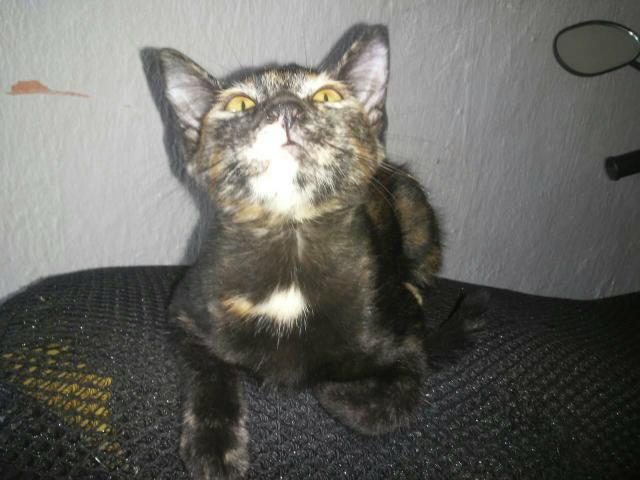 Gato para adoção - Foto 5