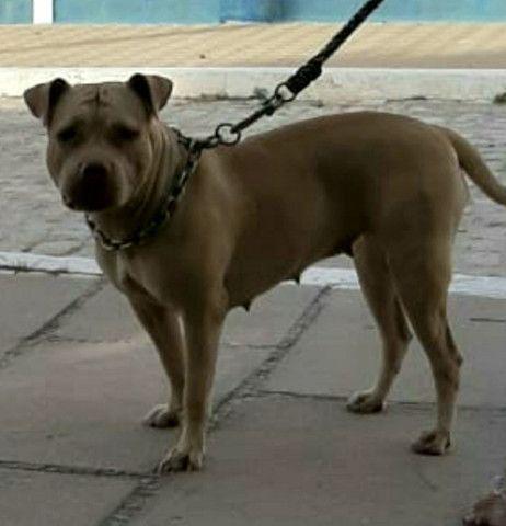 Pitbull Moster pedigree IBC - Foto 5