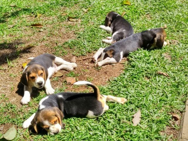 Beagles filhotes tricolor - Foto 5