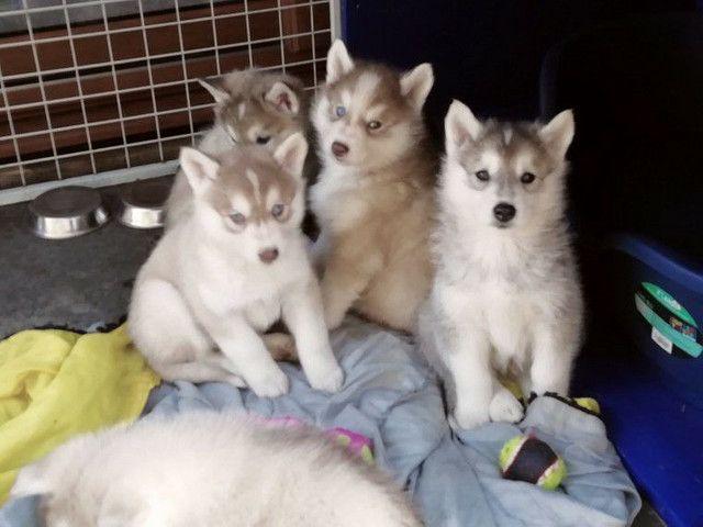 Husky lindos filhotes macho e fêmea disponível - Foto 2