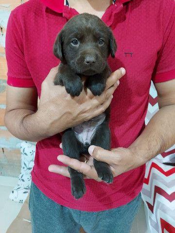 Labrador - parcelamos em até 12x - com pedigree, contrato, suporte veterinário - Foto 3