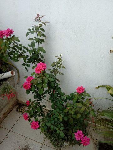 Mudas de Plantas, Flores e adubo - Foto 2