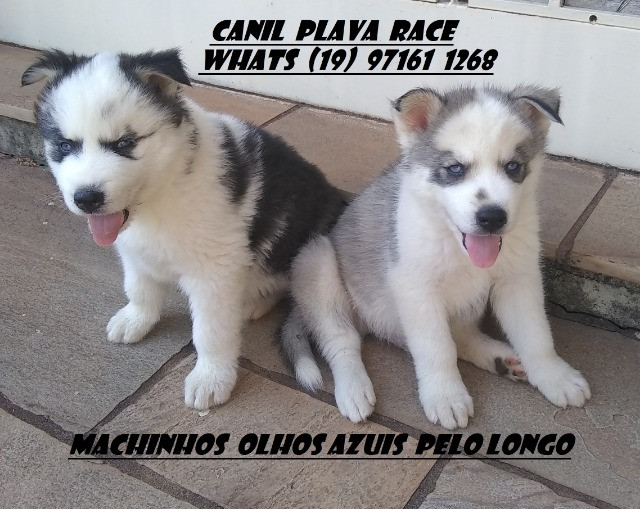 Husky Siberiano : Machos linhagem de campeoes olhos azuis C/Pedigree - Foto 2