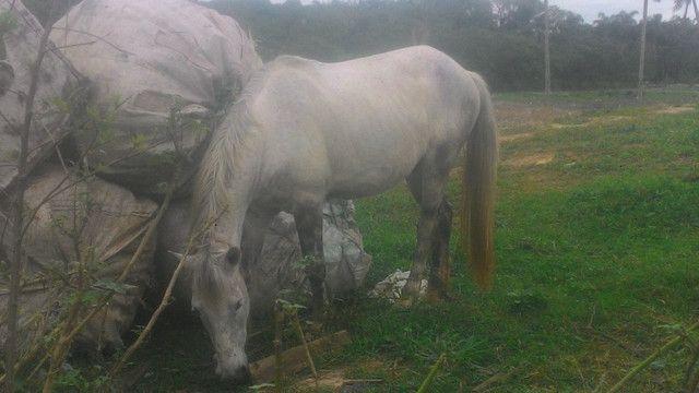 Vendo cavalo tordilho negro - Foto 5
