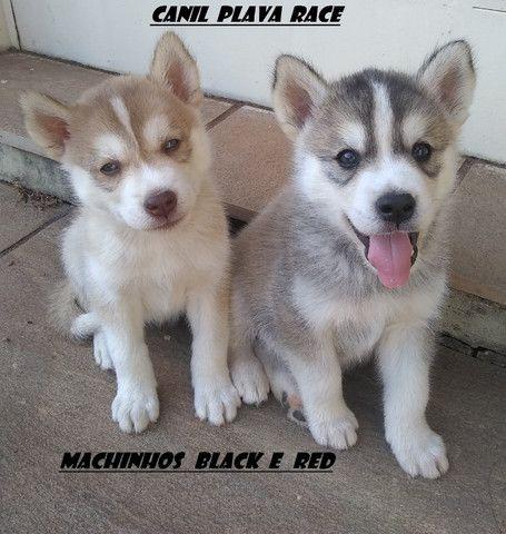 Husky Siberiano : Machos linhagem de campeoes olhos azuis C/Pedigree - Foto 3