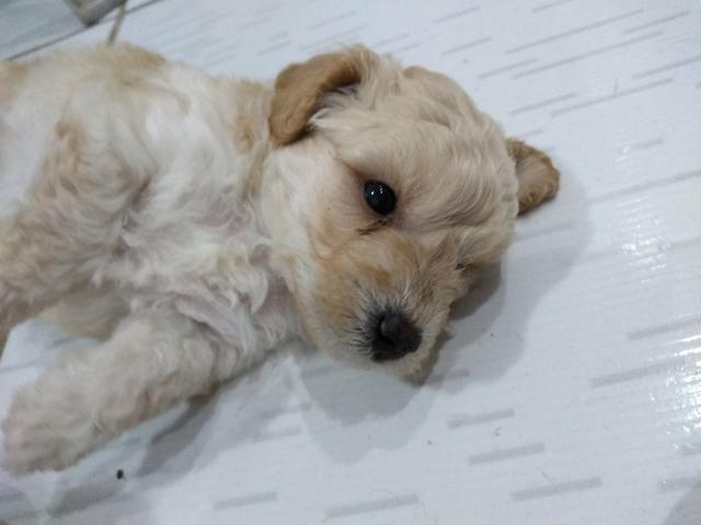Poodle fêmea número 1