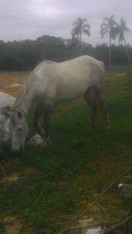 Vendo cavalo tordilho negro - Foto 4