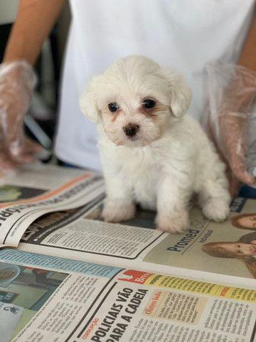 Maltês, filhotes com garantia de saúde, pedigree e auxilio veterinário, venha conferir! - Foto 2