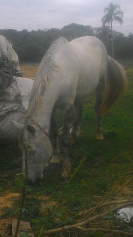 Vendo cavalo tordilho negro - Foto 2