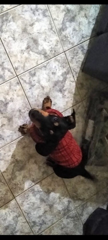 Basset dachshund a procura de namorada - Foto 2