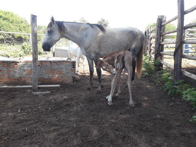 Vendo égua manga larga por 1500 reais