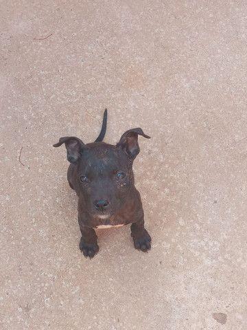 Cachorra pitbull