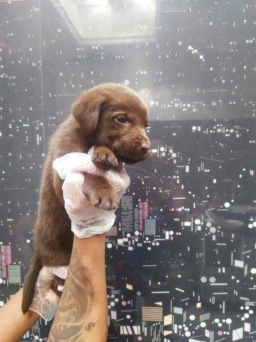 Labrador - parcelamos em até 12x - com pedigree, contrato, suporte veterinário - Foto 4