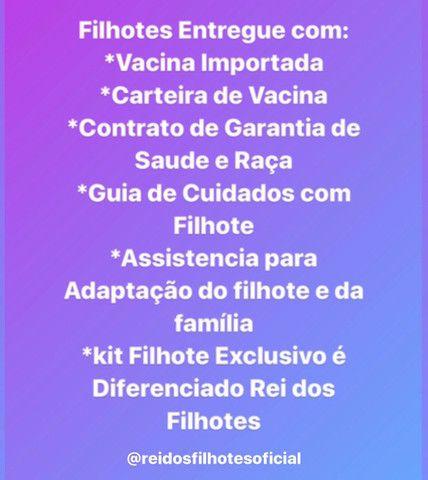 Lindissimos Pinscher Filhotes Vacinados  - Foto 4