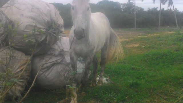 Vendo cavalo tordilho negro