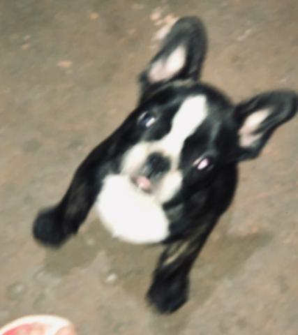 Bulldog Frances macho 75 dias - Foto 2